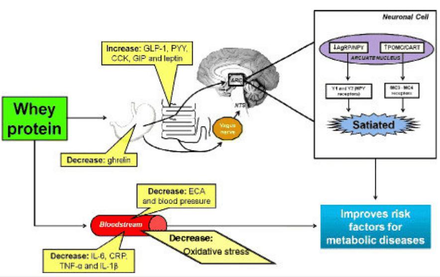 efectos-metabolicos-proteina-de-suero