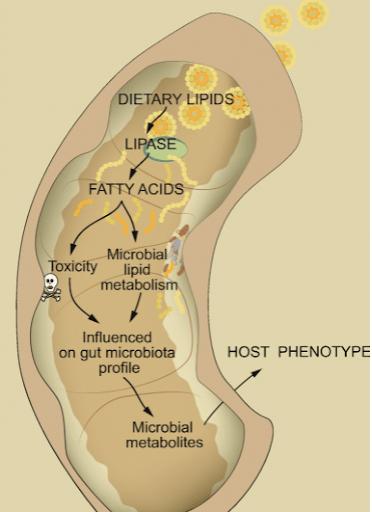 microbiota-obesidad-grasas